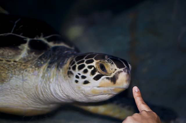 sea-life-benalmadena-turtle
