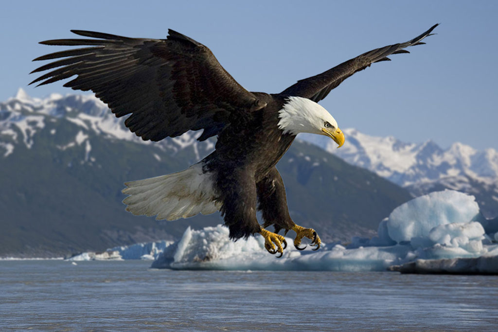The Bald Eagle is the national bird of the USA